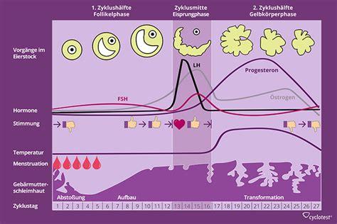 wann ist der eisprung im zyklus weiblicher zyklus funktion und phasen des