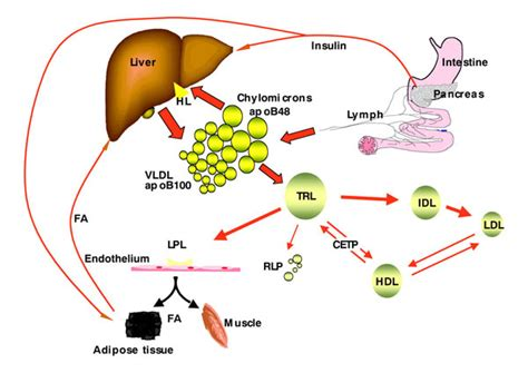 lipid metabolism diagram what are triglycerides levels and why do they matter