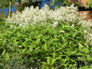 Parts Of A Flowering Plant - persicaria polymorpha landscape architect s pages
