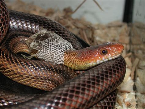 Snakes Shed by Baird S Rat Snake In Mid Shed Our Baird S Rat Snake