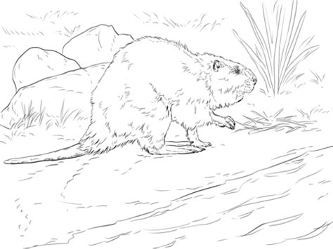 beaver color american beaver coloring page free printable coloring pages
