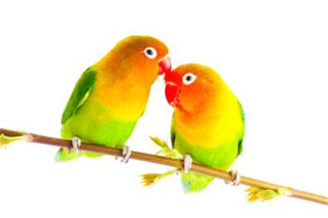love birds house music lovebirds as pets lovetoknow