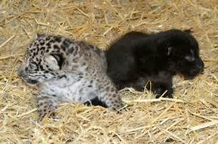 Jaguars Cubs A Pair Of Adorable Baby Jaguars Been Born At A
