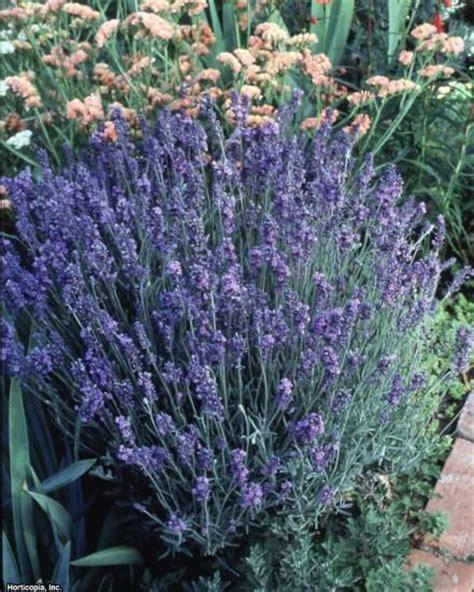 25 best ideas about lavender varieties on pinterest