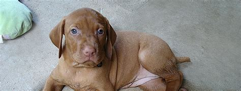 vizsla puppies florida vizsla puppies bred with edisonia vizslas
