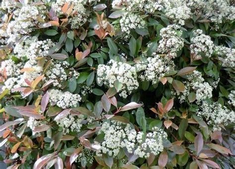photinia in vaso photinia robin piante da giardino photinia