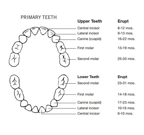 teeth chart template sle teeth chart template 10 free documents