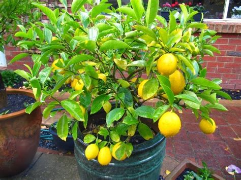 does all fruit grow on trees grow your favorite fruit in pot at home these are top