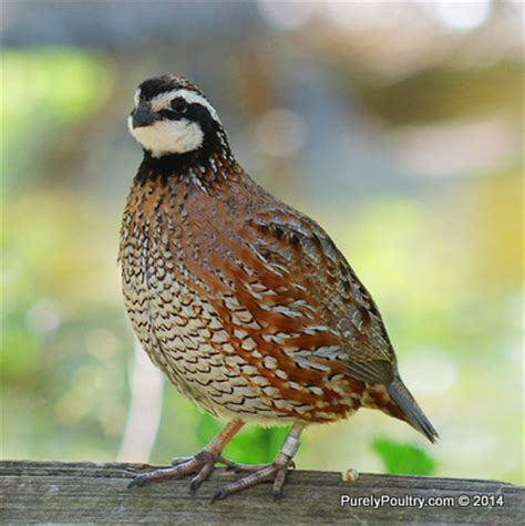Zavera Twun By Quail the meaning and symbolism of the word quail
