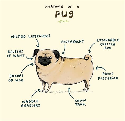 pug anatomy quot anatomy of a pug quot by corrigan redbubble