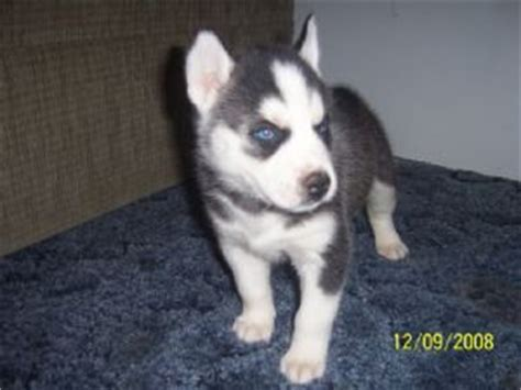 husky puppies nc siberian husky puppies for sale