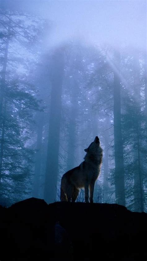 lone wolf howling wallpaper