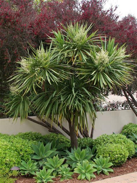 yucca palme für draußen palmlilie eine bezaubernde zier und nutzpflanze