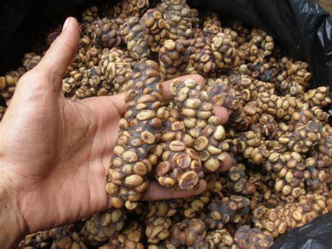 Gayo Luwak Green Bean 1 Kg 2 new 100 kopi luwak arabica coffee roasted beans