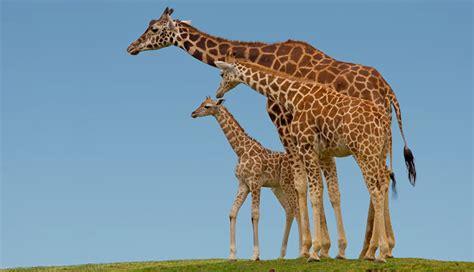 imagenes de jirafas salvajes animales salvajes lista informaci 243 n im 225 genes y