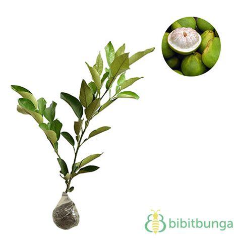 Jeruk Bali Pamelo tanaman jeruk bali pomelo bibitbunga