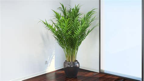 areca palm areca palm vizpark
