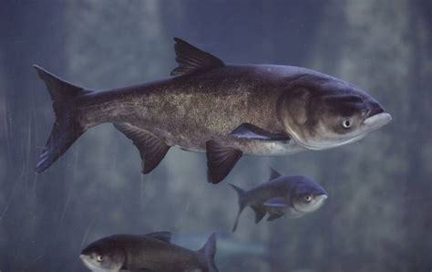 8 options to keep asian carp out of great lakes army