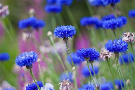 Esmonia Lopperio Flower blue cornflowers the estonian flower amazing places