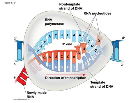 non template dna gene to protein gene expression ppt