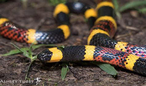 coral snake colors snakes are on the move in the hill country