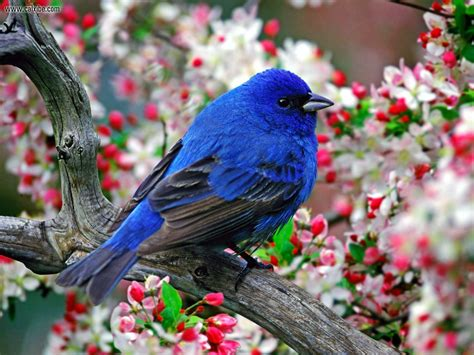 animals male indigo bunting desktop wallpaper nr 14438