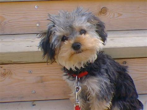 teacup yorkie hawaii yorkie poodle mix poodle mix breeds poodle mix and poodle