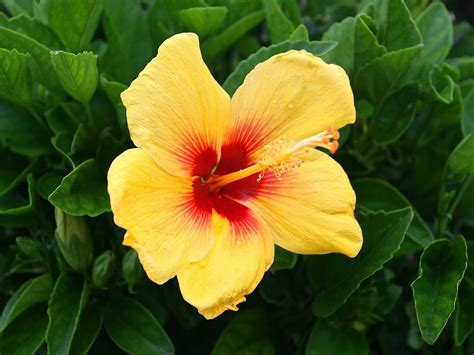 which state has a hibiscus yellow hibiscus flowers wallpapers 1600x1200 226736