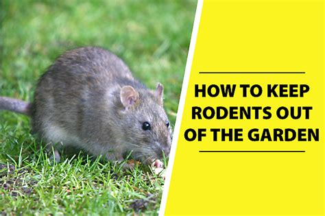 How To Keep Rats Out Of Garden how to keep rodents out of the garden