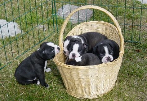 how much are boston terrier puppies free boston terrier puppies 17 background dogbreedswallpapers