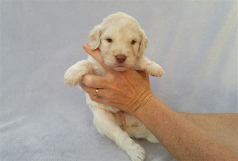 puppies for sale knoxville tn puppies for sale in knoxville tennessee