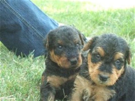 airedale terrier puppies for sale airedale terrier puppies for sale