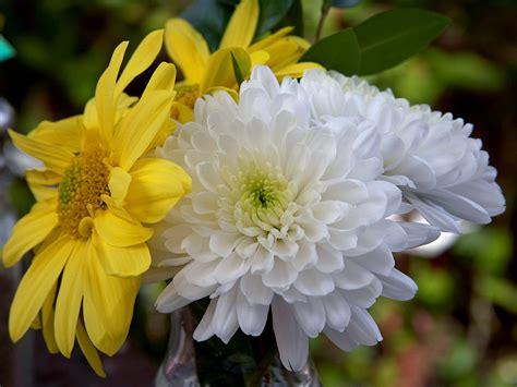 mums flower chrysanths flowers dendranthema grandiflora tzvelev