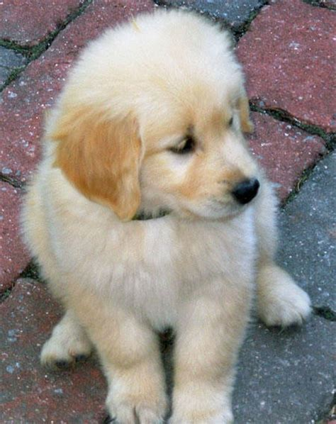 golden retriever puppy not golden retriever puppies pictures puppy images pictures
