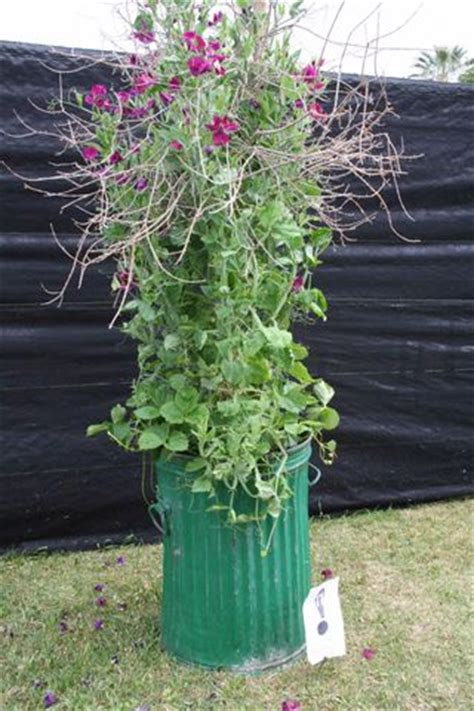 container gardening peas living homegrown