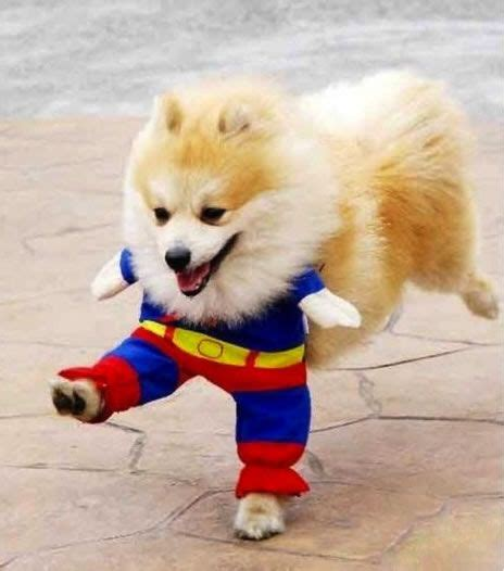 cute dogs dressed  superheroes cute animal pictures