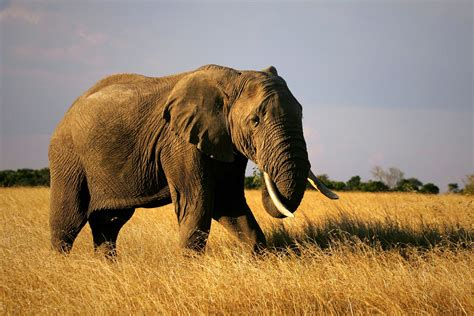botanical name of elephant elephant loxodonta africana