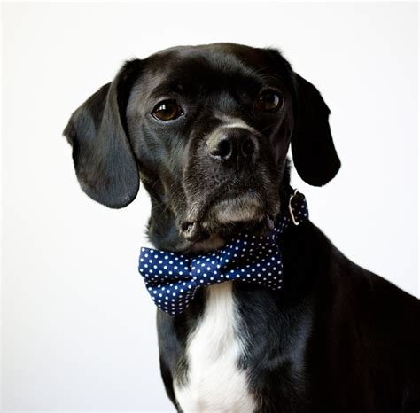 puppy bow tie navy blue polka dot bow tie collar by sillybuddy on etsy