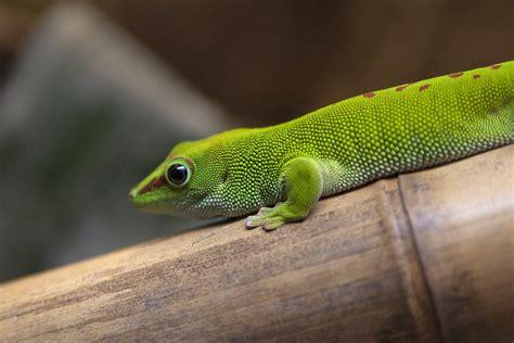 gecko green free stock photo 2228 green gecko freeimageslive