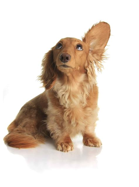 when can puppies hear related keywords suggestions for hear