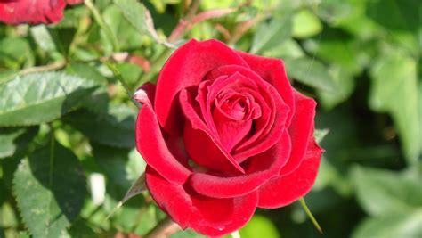 Rosa rosa fotos de otros