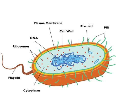 diagram of bacterial cell structure bacteria grade 11 biology study guide