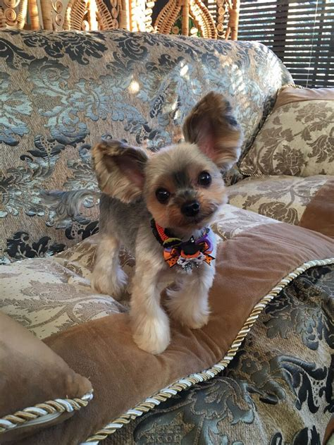 yorkie dog with lion haircut lion cut dog yorkie www pixshark com images galleries