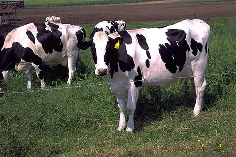 Still A Cow would the real cows stand up welcome to the nut