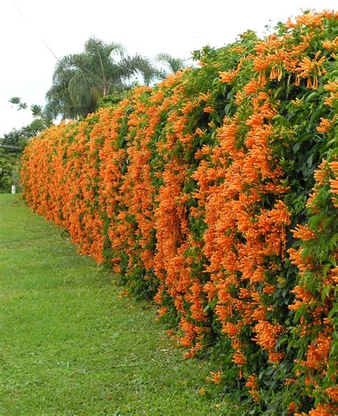 orange trumpet creeper gardendrum