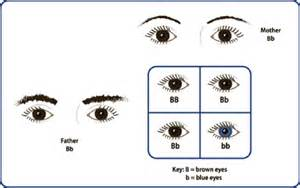 who has the dominant gene for eye color unit 2 part 1 flash cards biology 1010 with at