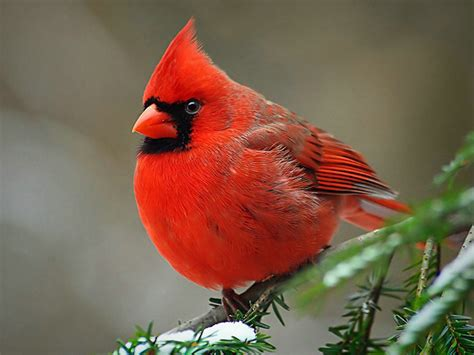 the life of sweet birds cardinal red birds