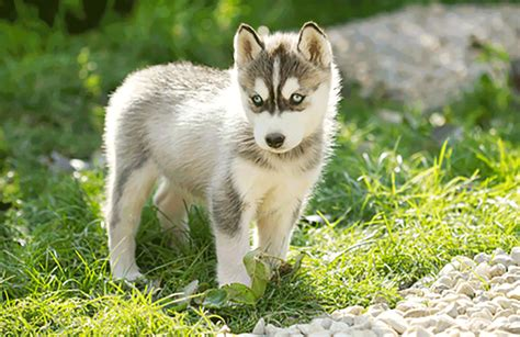 miniature husky puppies small husky breed breeds picture