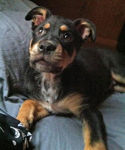 rottweiler tips for rottweiler tips for rottweiler breeds 2015 personal