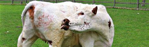 cow lick pic gotta cowl leak not a quot cow lick quot we can help car